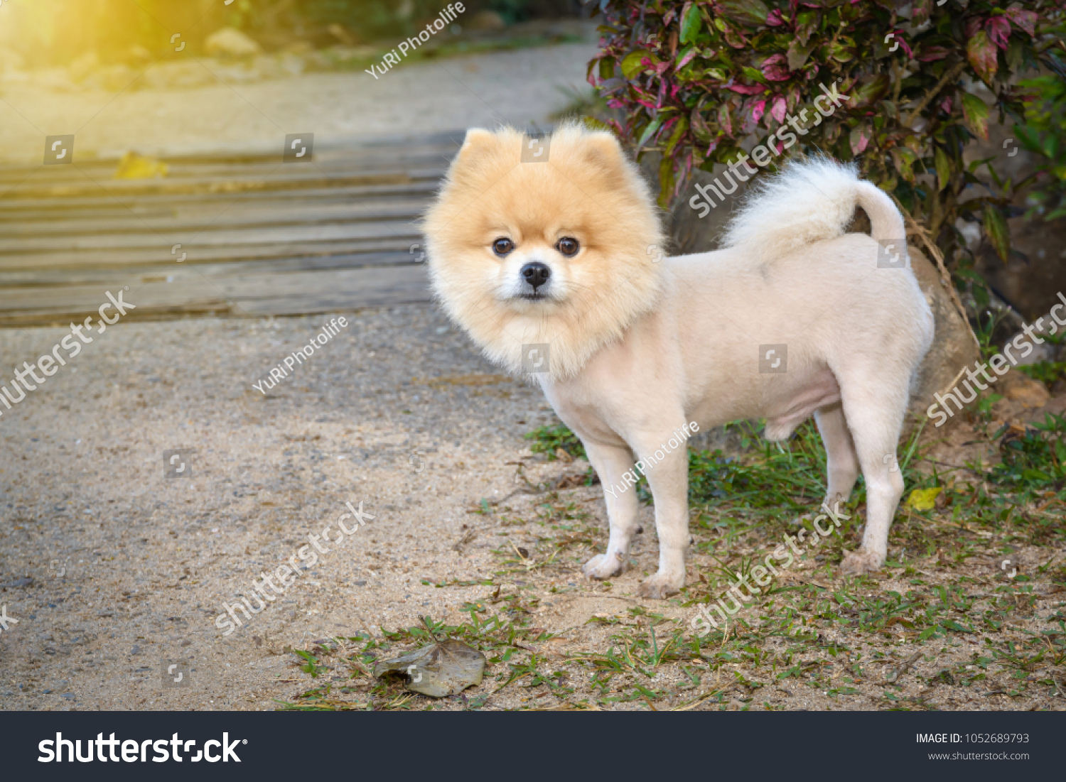 Cut Hair Pomeranian Dog Like Lion Stock Photo (Edit Now) 10