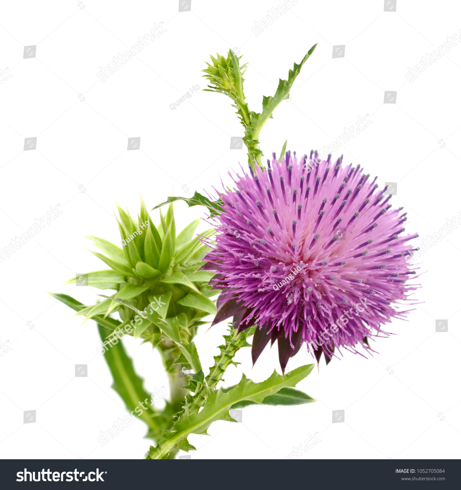 Milk Thistle Flower Milk Thistle Flowering Stock Photo Edit Now