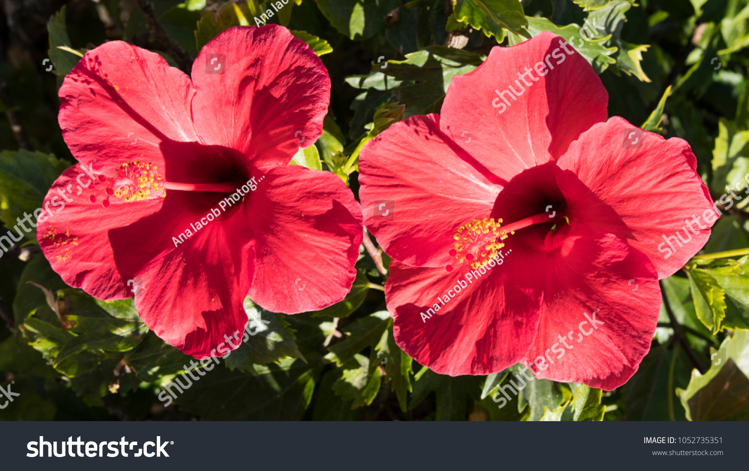 Two exotic colorful red hibiscus flowers stock photo edit now two exotic and colorful red hibiscus flowers under strong morning sunlight an ornamental shrub izmirmasajfo