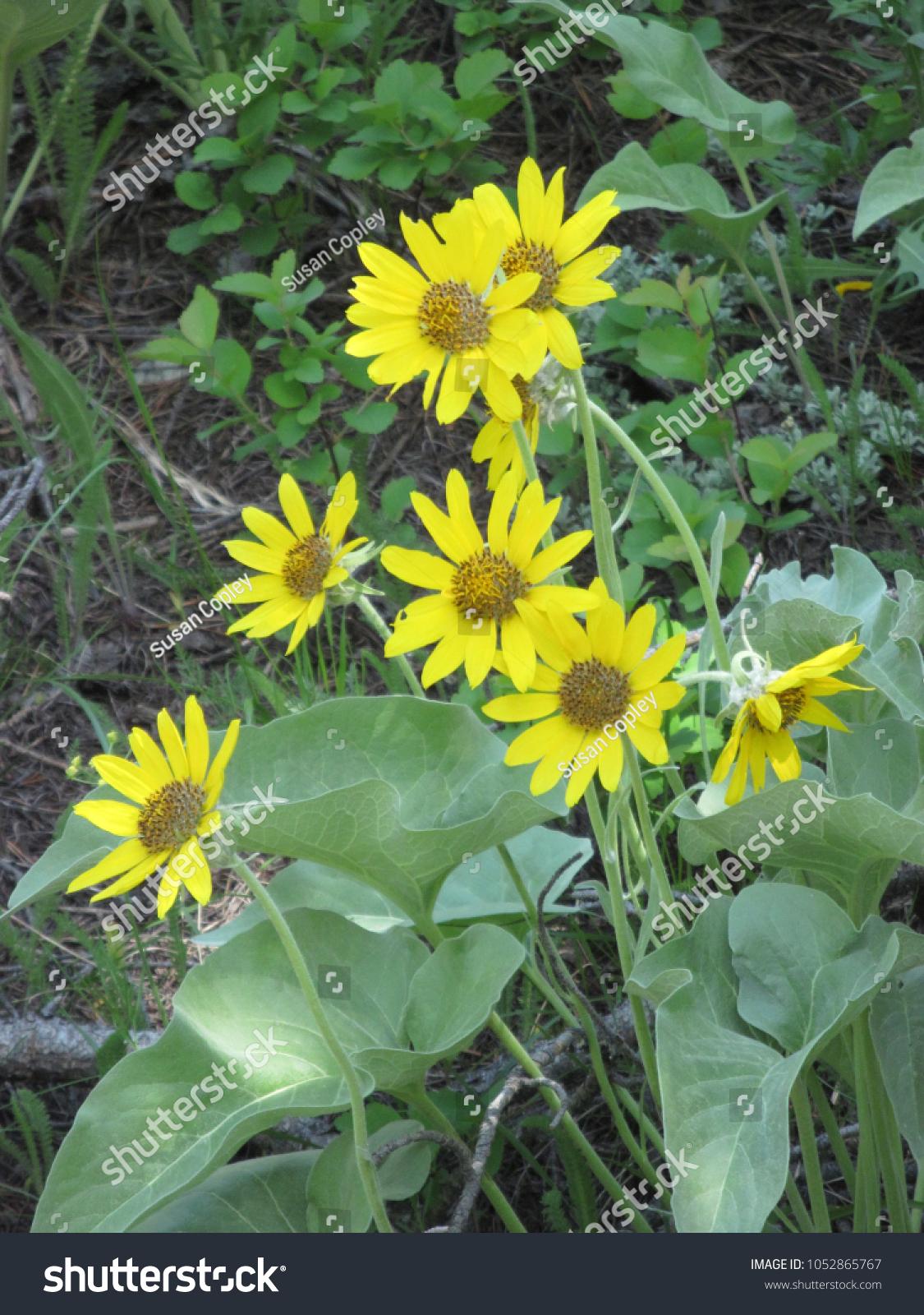 Daisy Like Yellow Flowers Celandine Weed Stock Photo Edit Now