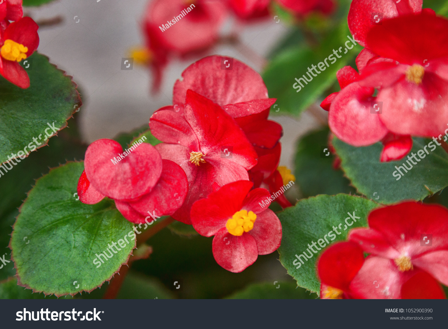 Busy Lizzie Red Shiny Flowers Impatiens Stock Photo Edit Now