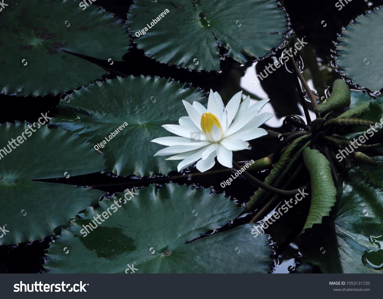 Night White Egyptian Lotus Flower Pond Stock Photo Edit Now