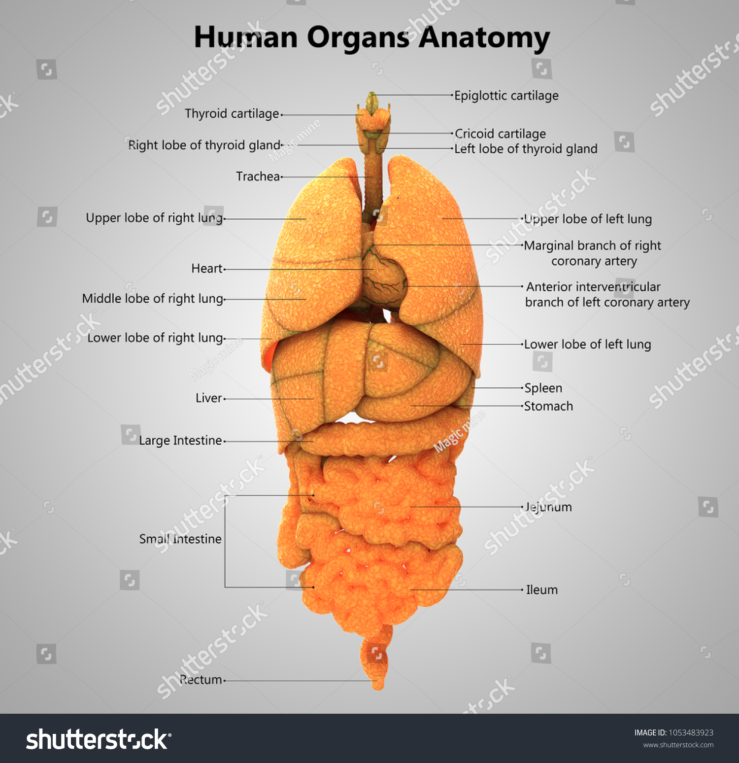 Human Body Organs Label Design Anatomy Stock Illustration 1053483923