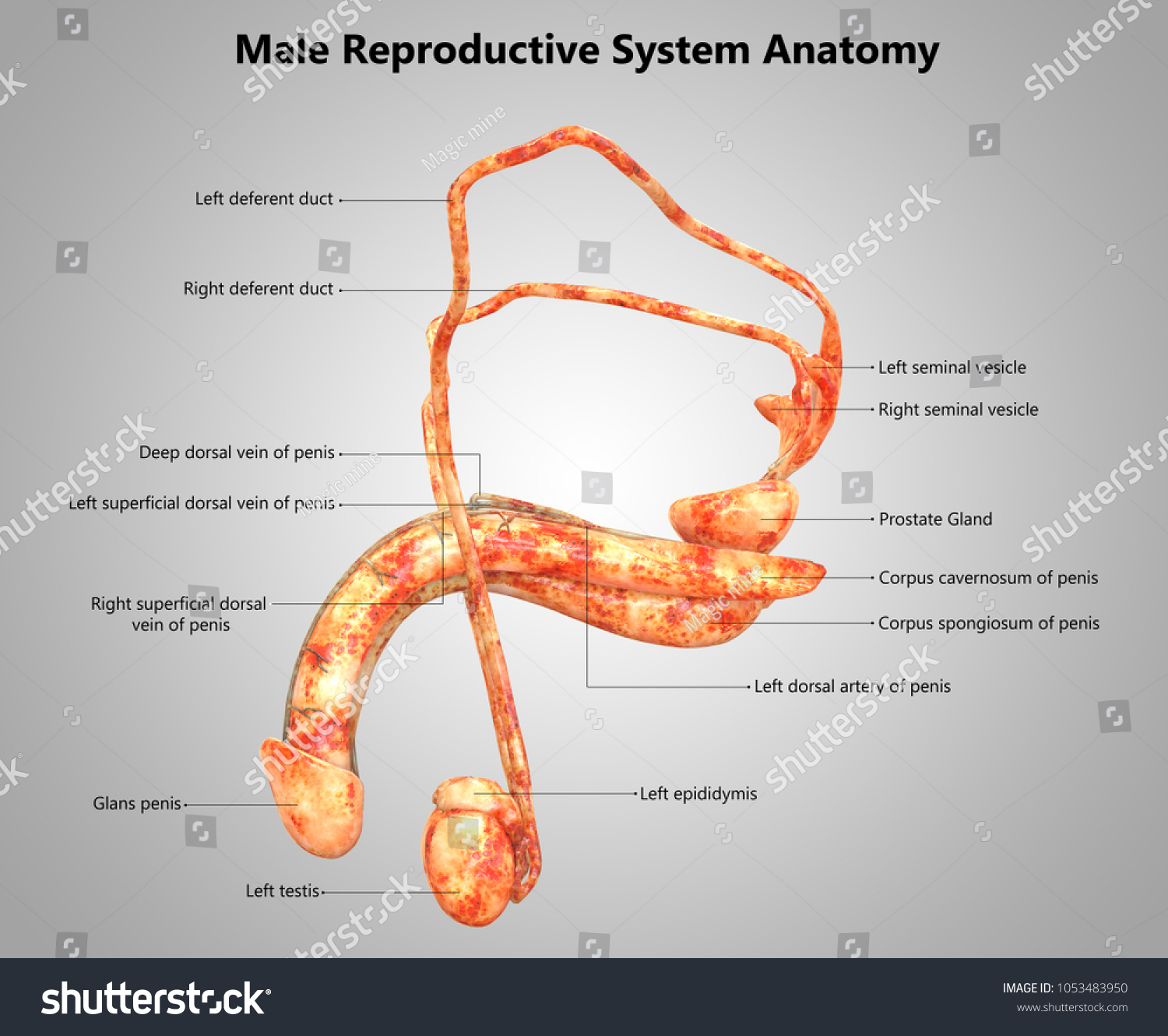 Royalty Free Stock Illustration Of Male Reproductive System Label