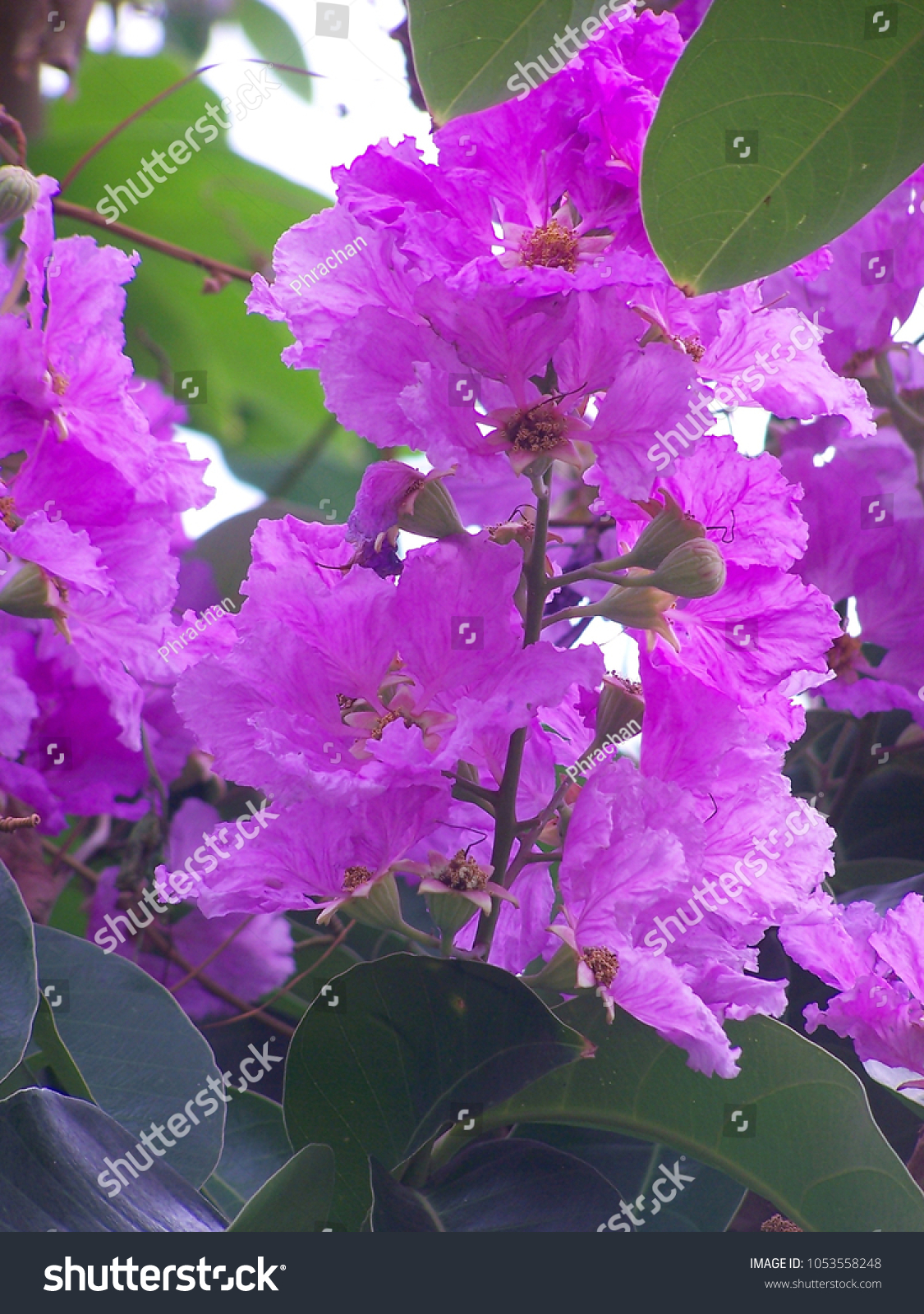 Lagerstroemia Speciosa L Pers Queens Flower Stock Photo Edit Now