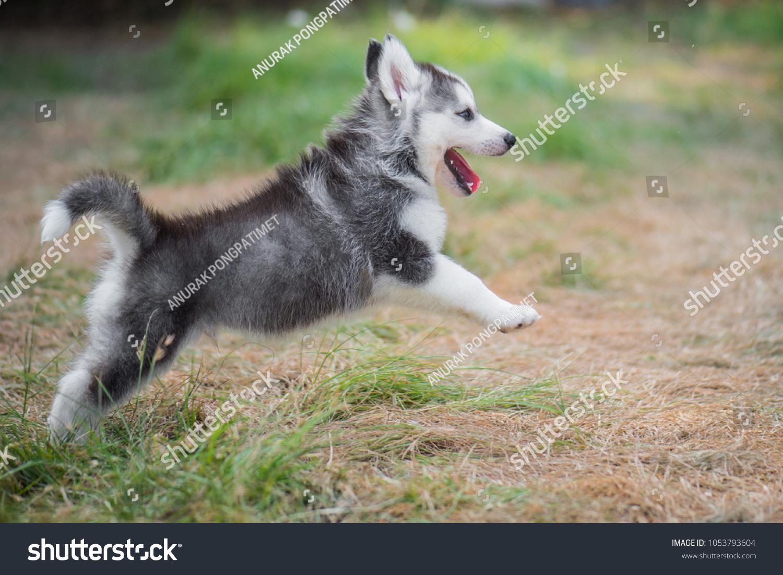Cute Siberian Husky Puppy Jumping On Stock Photo Edit Now