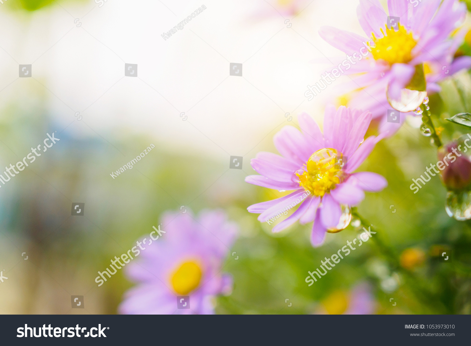 Beautiful Fresh Daisy Flowers Water Drops Stock Photo Royalty Free