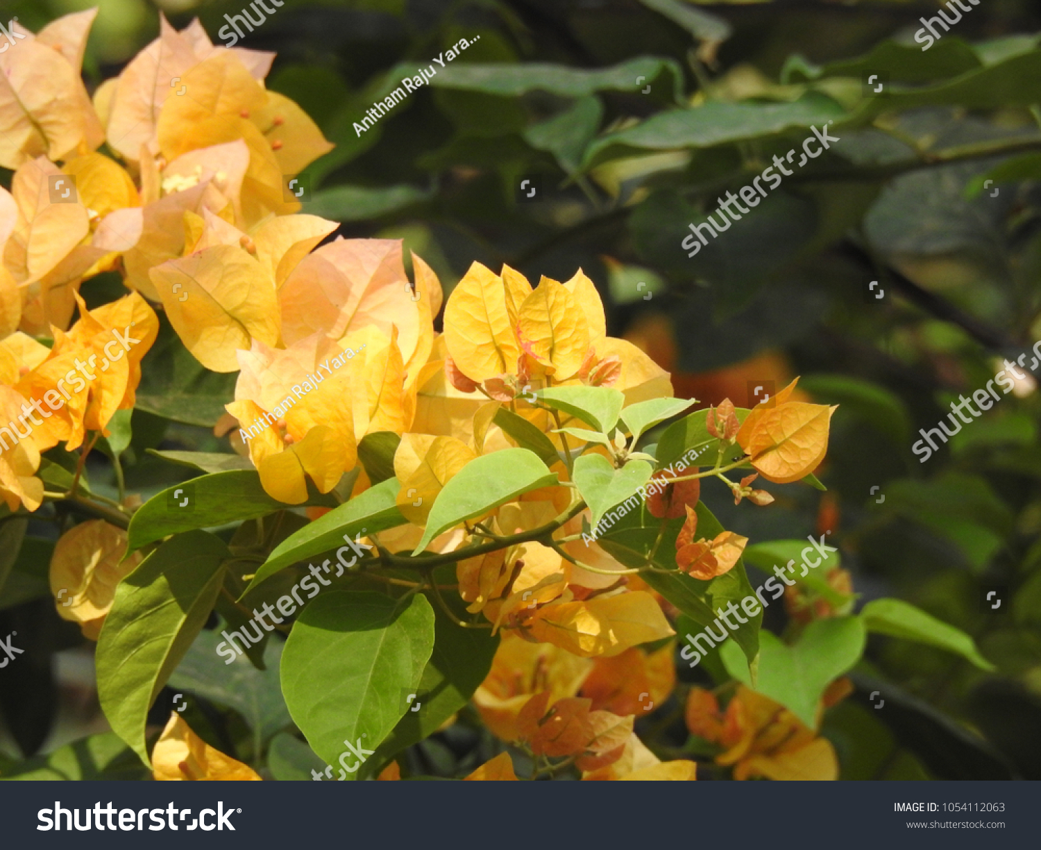 Bougainvillea Yellow Color Flowers Green Leaves Stock Photo Edit