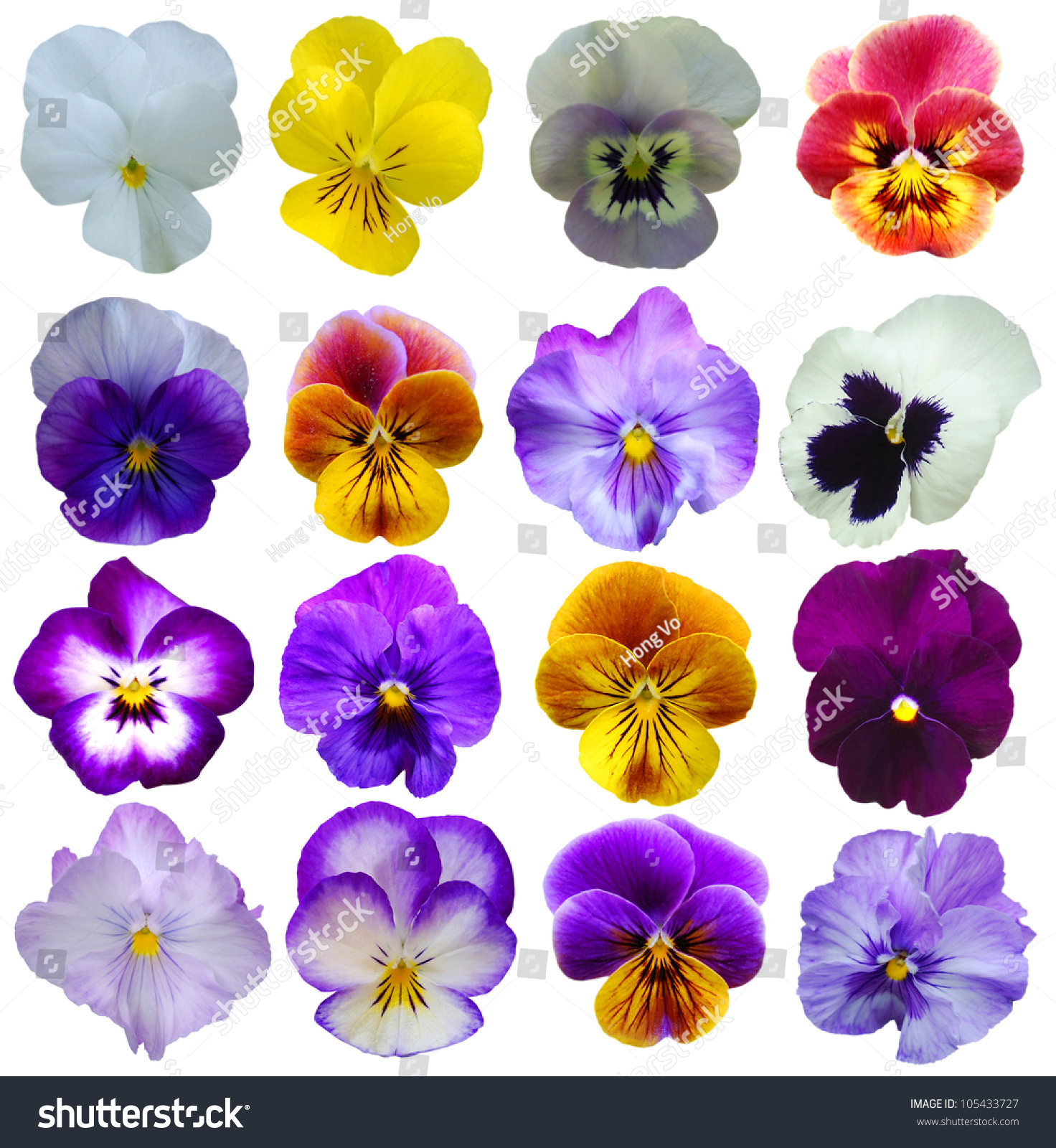 16 Pansies Flowers On White Background Stock Photo Edit Now