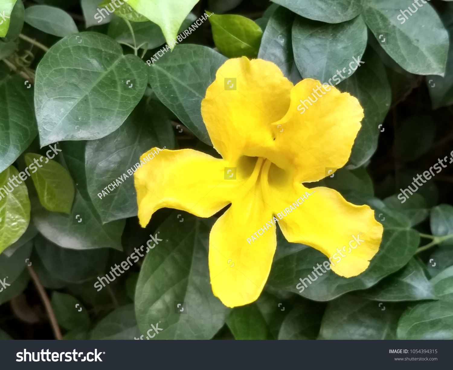 Cats Claw Vine Yellow Flower Stock Photo Edit Now 1054394315