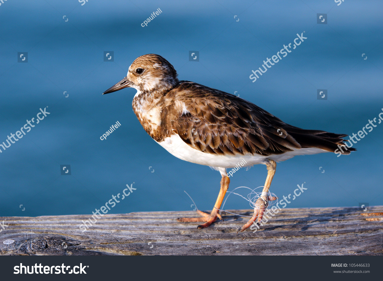 stock-photo-a-least-sandpiper-with-monof