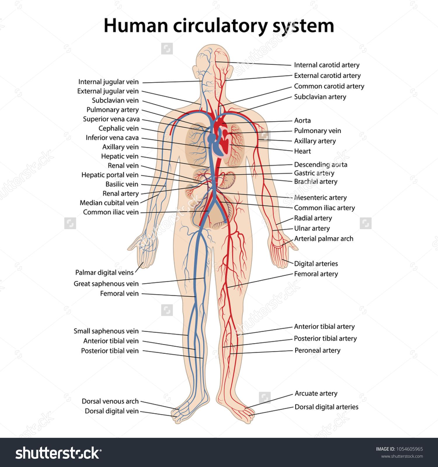 Human Circulatory System Main Parts Labeled Stock Vector