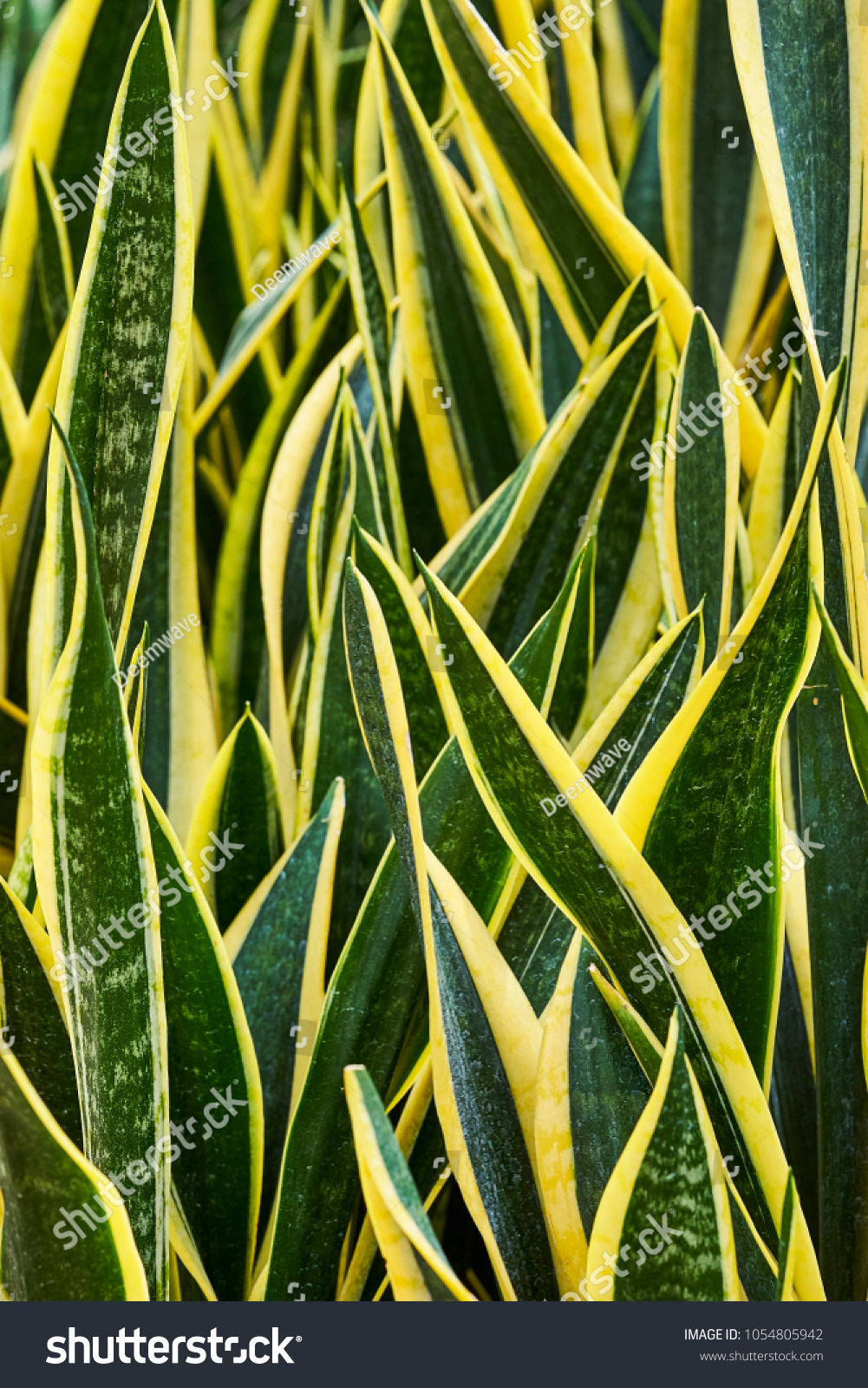 Close Outdoor American Aloe Plant Agave Stock Photo (100% Legal ...