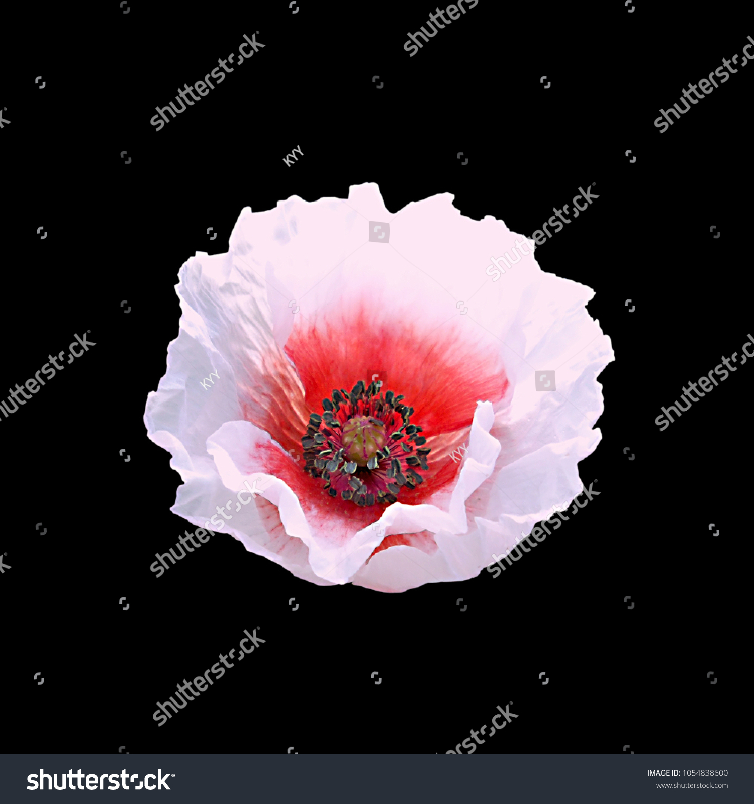 Pink Poppy Flower Isolated On Black Stock Photo Royalty Free