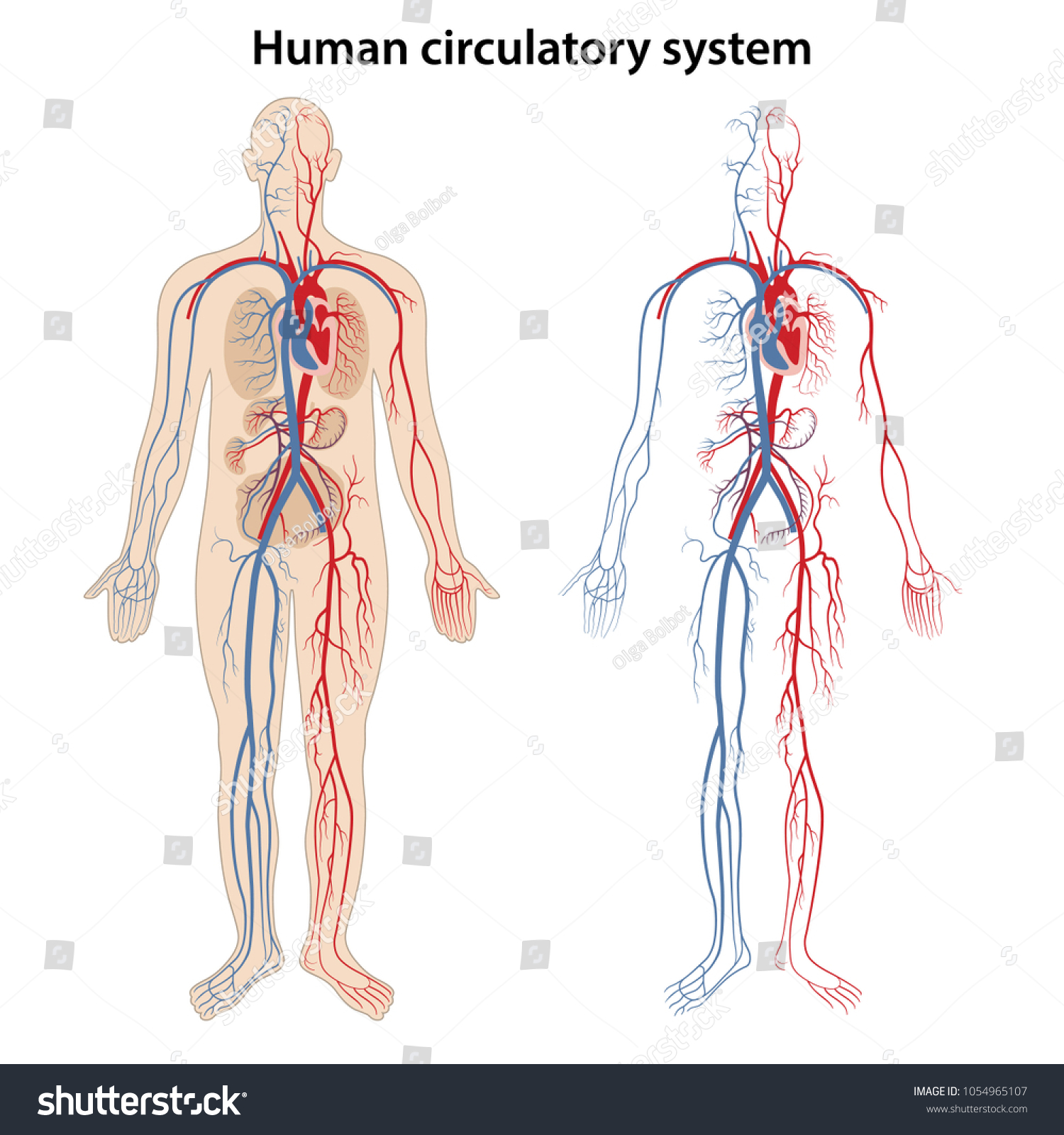 Human Arterial Venous Circulatory System Vector Stock Vektorgrafik