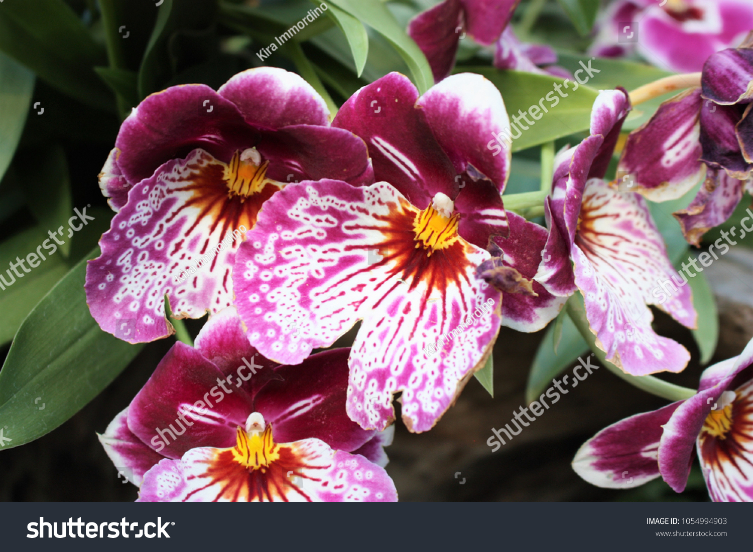 Colorful Blossoms Pansyfaced Orchid Miltonia Cultivar Stock Photo
