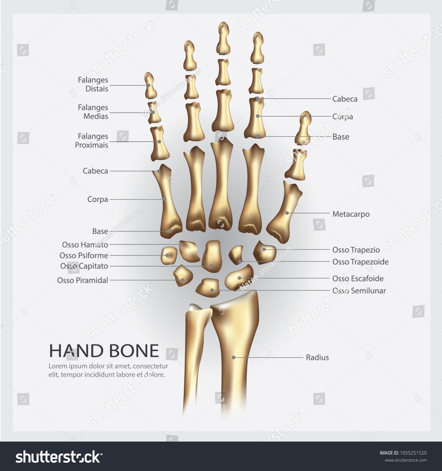 Hand Bone Anatomy Detail Vector Illustration Stock Vector (Royalty ...