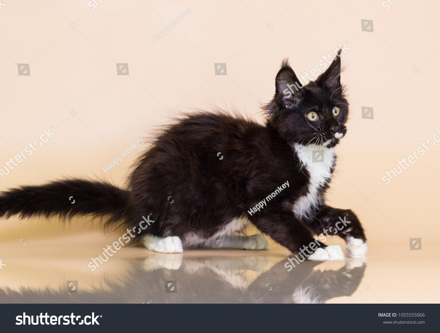 Black White Maine Coon Kitten On Stock Photo Edit Now 1055555066
