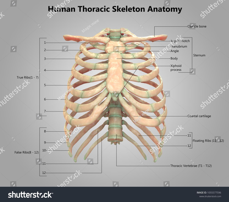 Human Skeleton System Thoracic Skeleton Label Stock Illustration