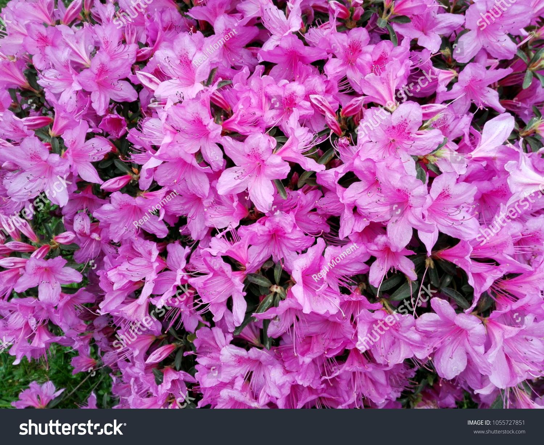 Big Pink Azalea Rhododendron Bush Shrub Stock Photo Edit Now