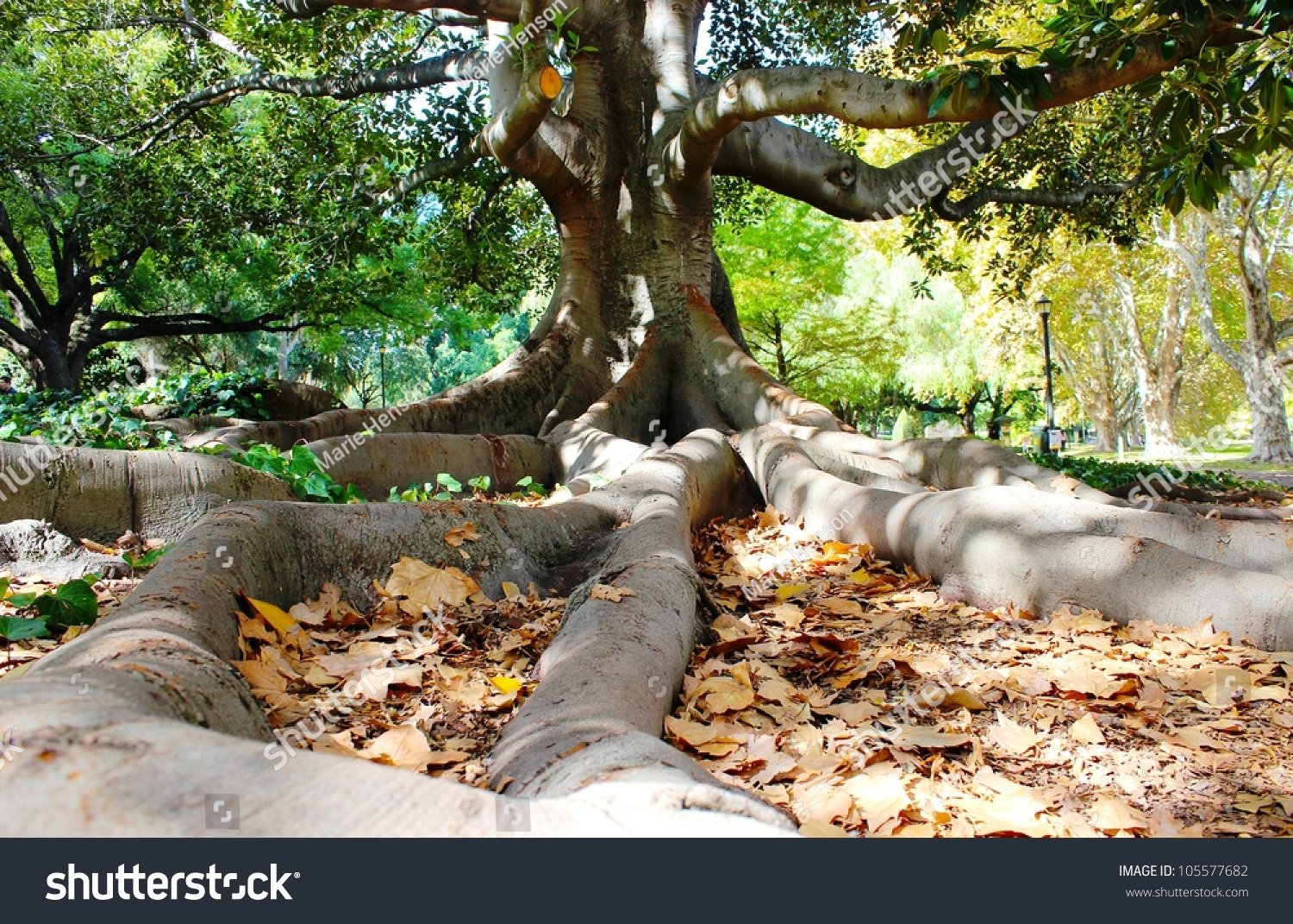 Fig Tree And Root Buttress At Hyde Park Wa. Autumn Leaves Begin To ...