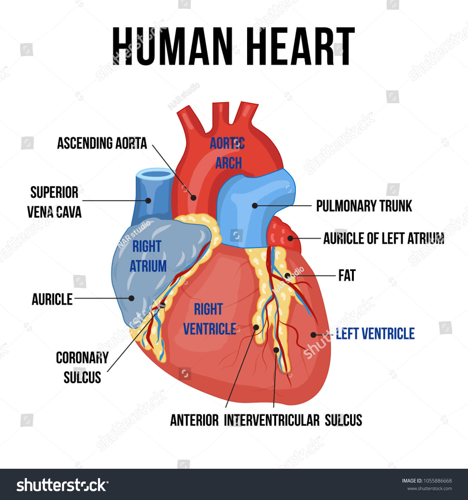 Colorful Anatomy Human Heart Descriptions Parts Stock Vector