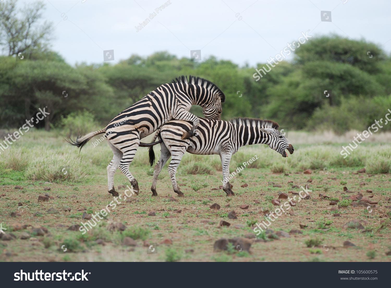 Zebra Mating Stock Photo 105600575 : Shutterstock