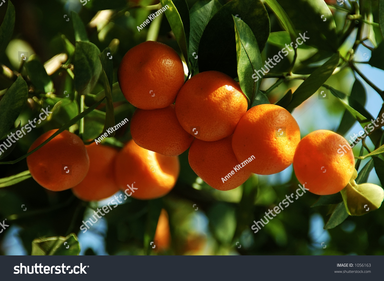 fruit native to china citrus fruits