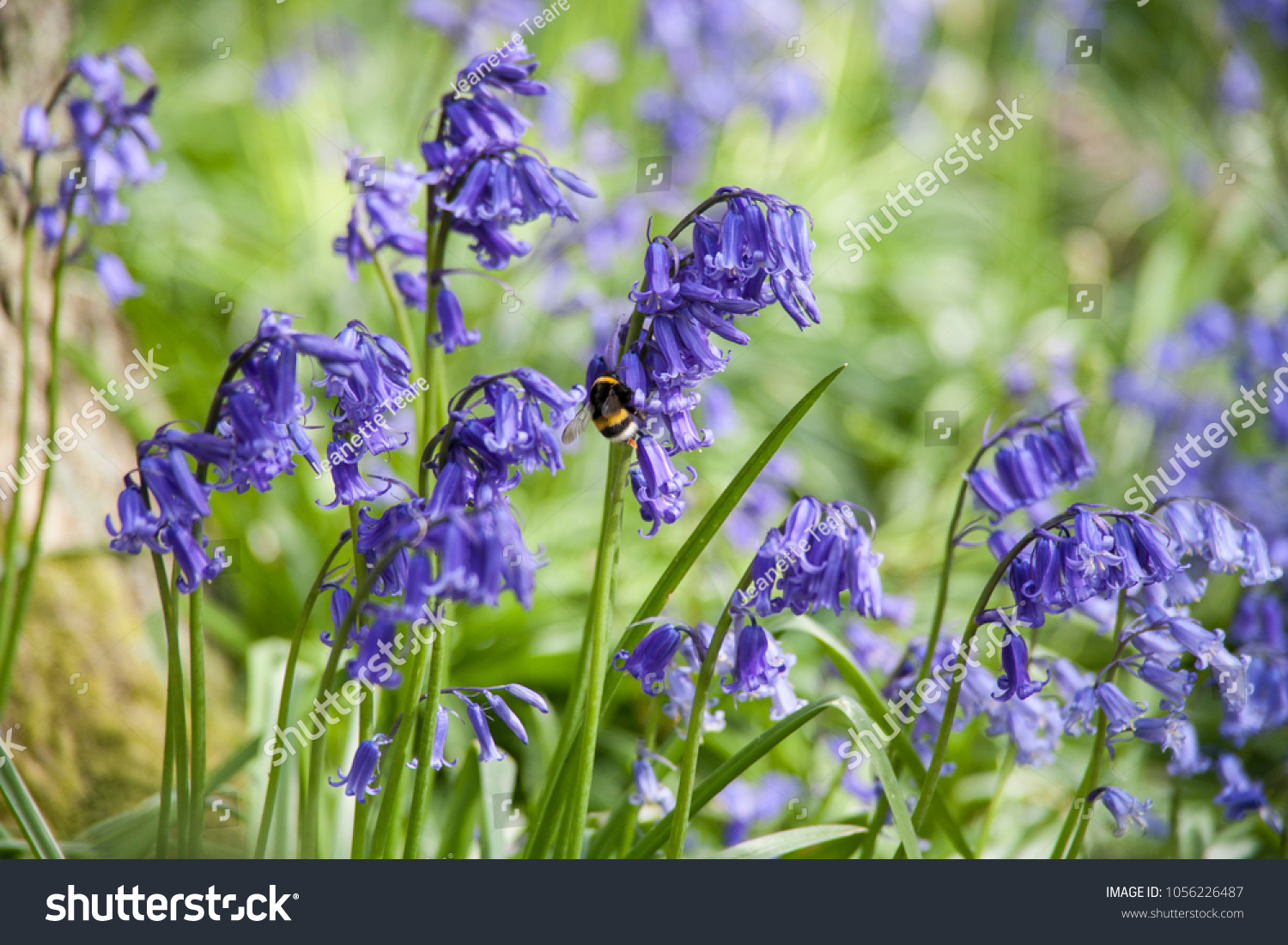 Bluebell bee bluebells woodland flowers which stock photo 1056226487 bluebell bee bluebells woodland flowers which stock photo 1056226487 shutterstock izmirmasajfo