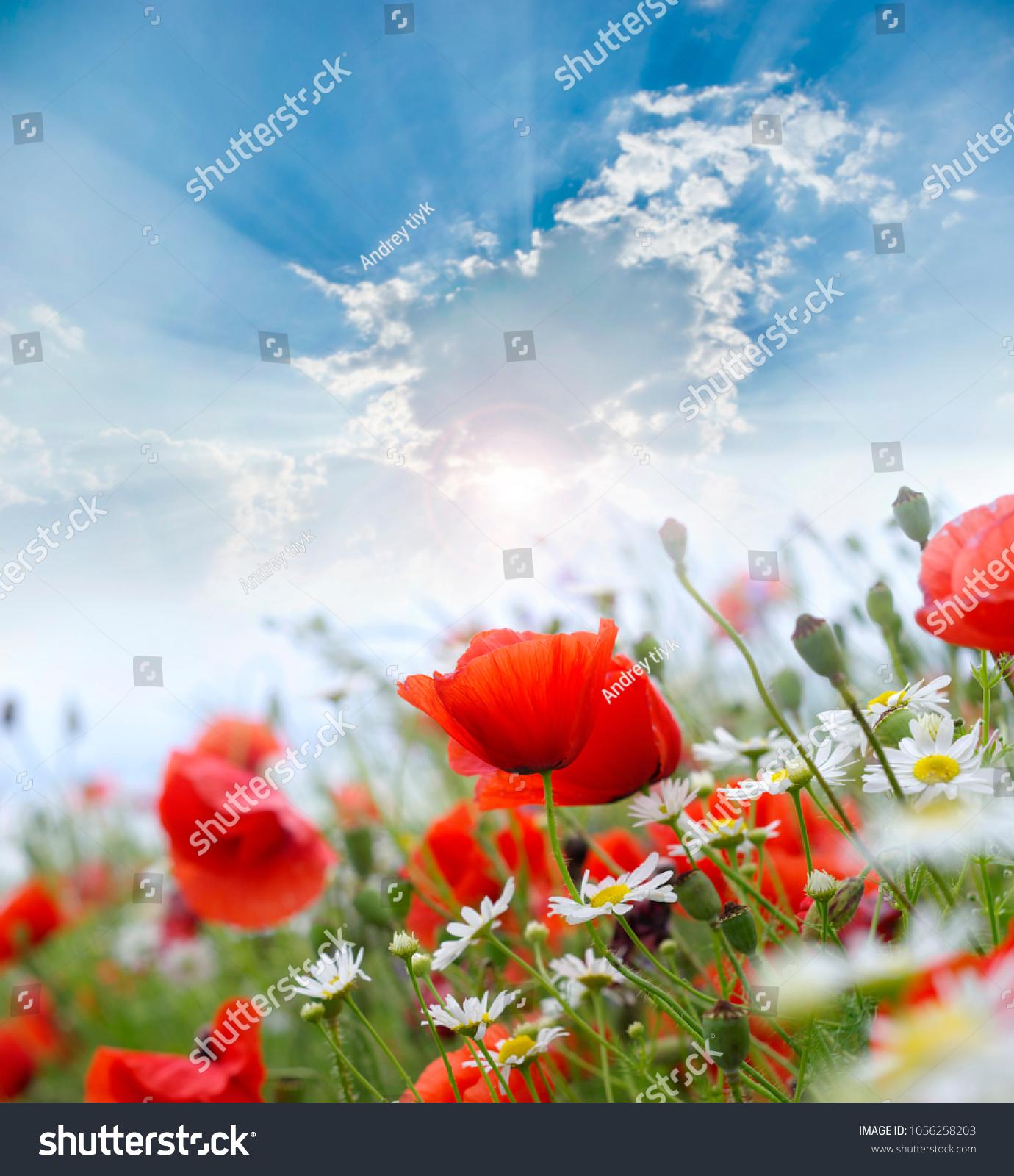Beautiful Poppy Flowers Meadow Wild Red Stock Photo Edit Now