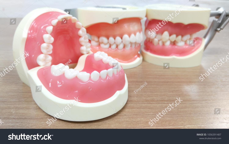 Human Teeth Anatomy Model Stock Photo Edit Now 1056391487