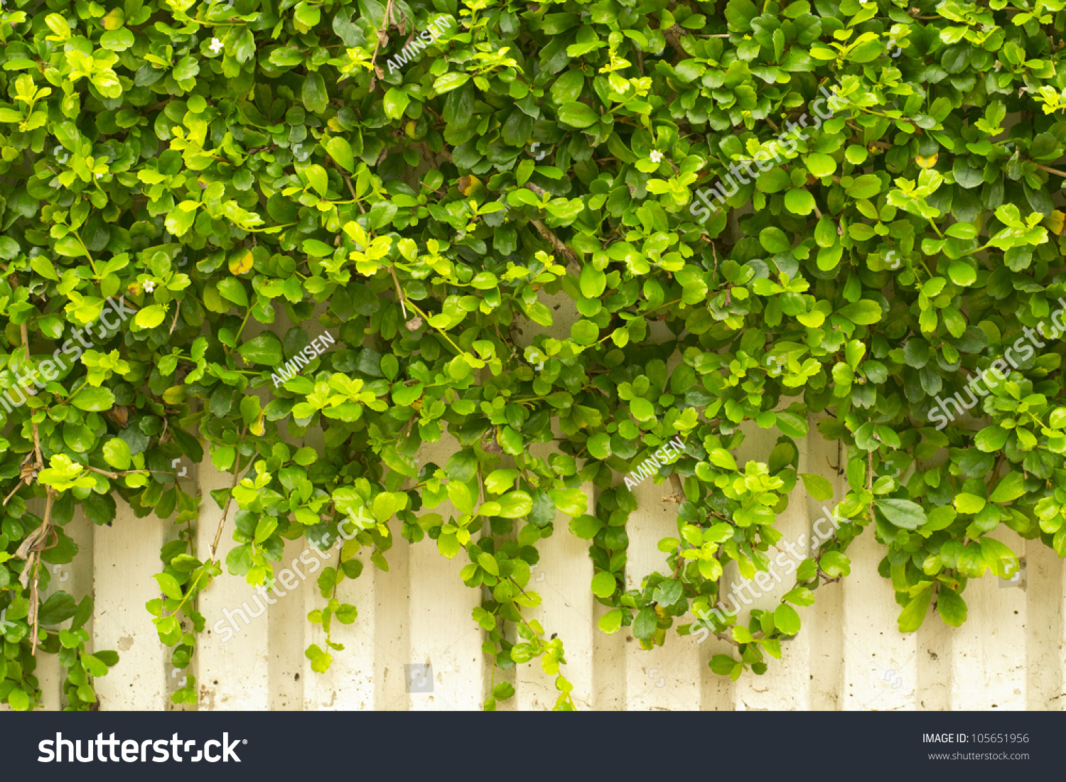 green creeper plant on white wall stock photo 105651956 shutterstock. Black Bedroom Furniture Sets. Home Design Ideas