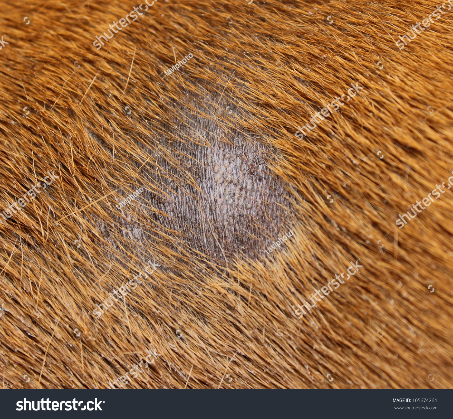 What are some symptoms of a staph skin infection in dogs?