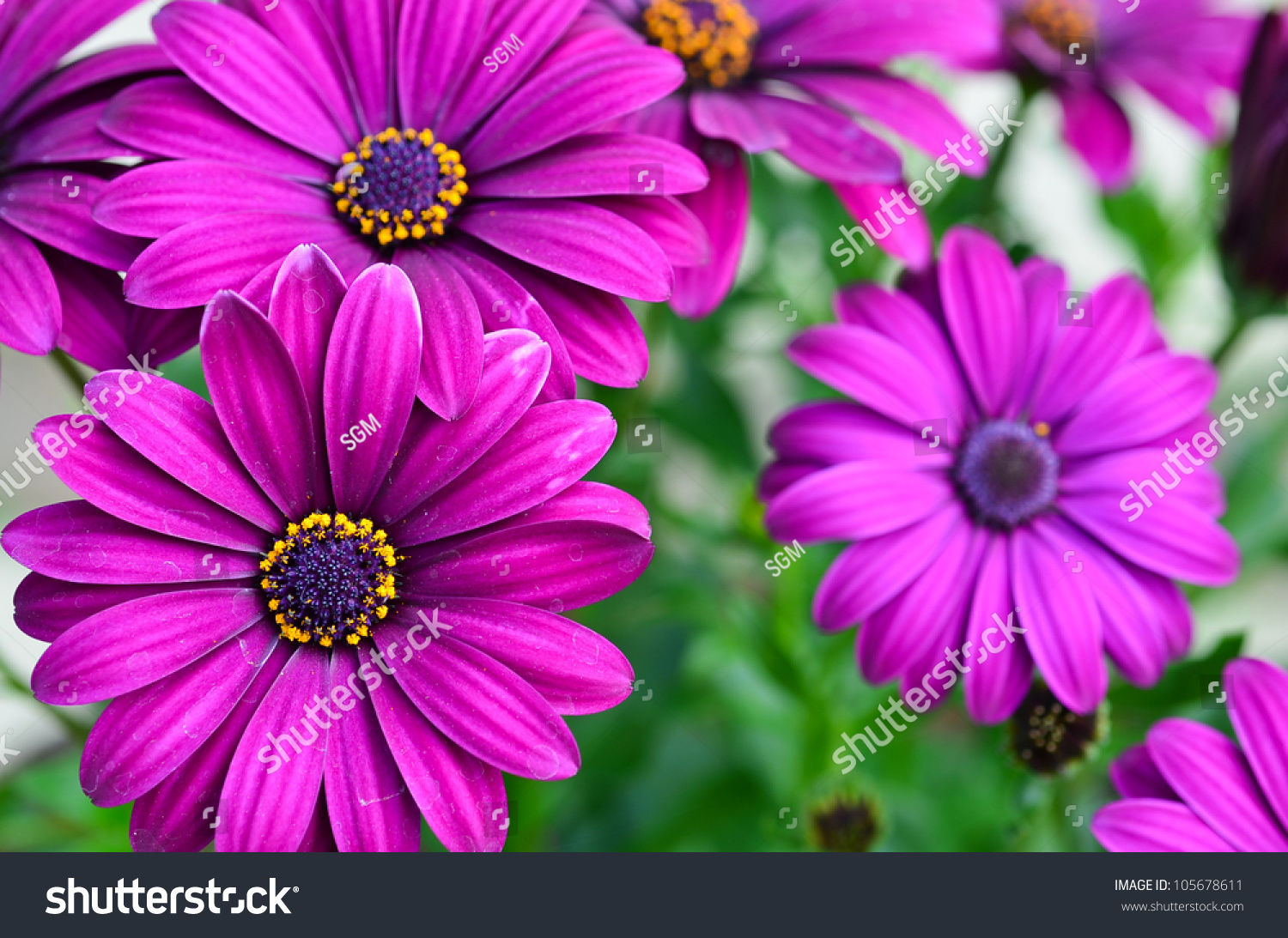 Purple daisy flowers osteospermum stock photo edit now 105678611 purple daisy flowers osteospermum izmirmasajfo