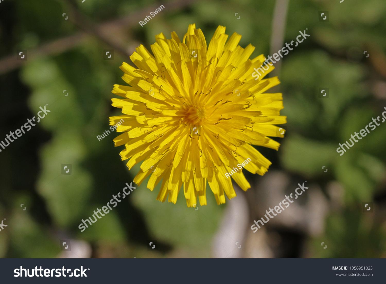 Yellow Prickly Sowthistle Flower Close Springtime Stock Photo Edit