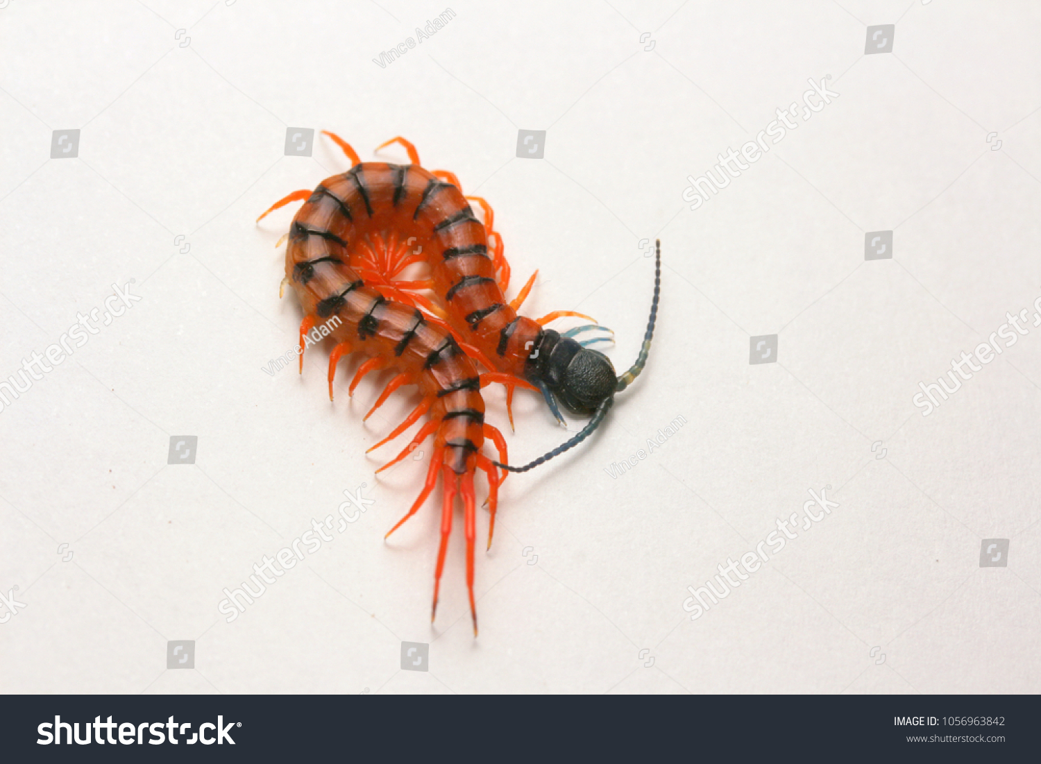 juvenile red cherry centipede scolopendra subspinipes stock photo