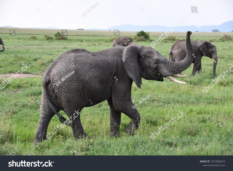 Elephant Making Noise Tanzania Stock Photo (Edit Now) 1057000274