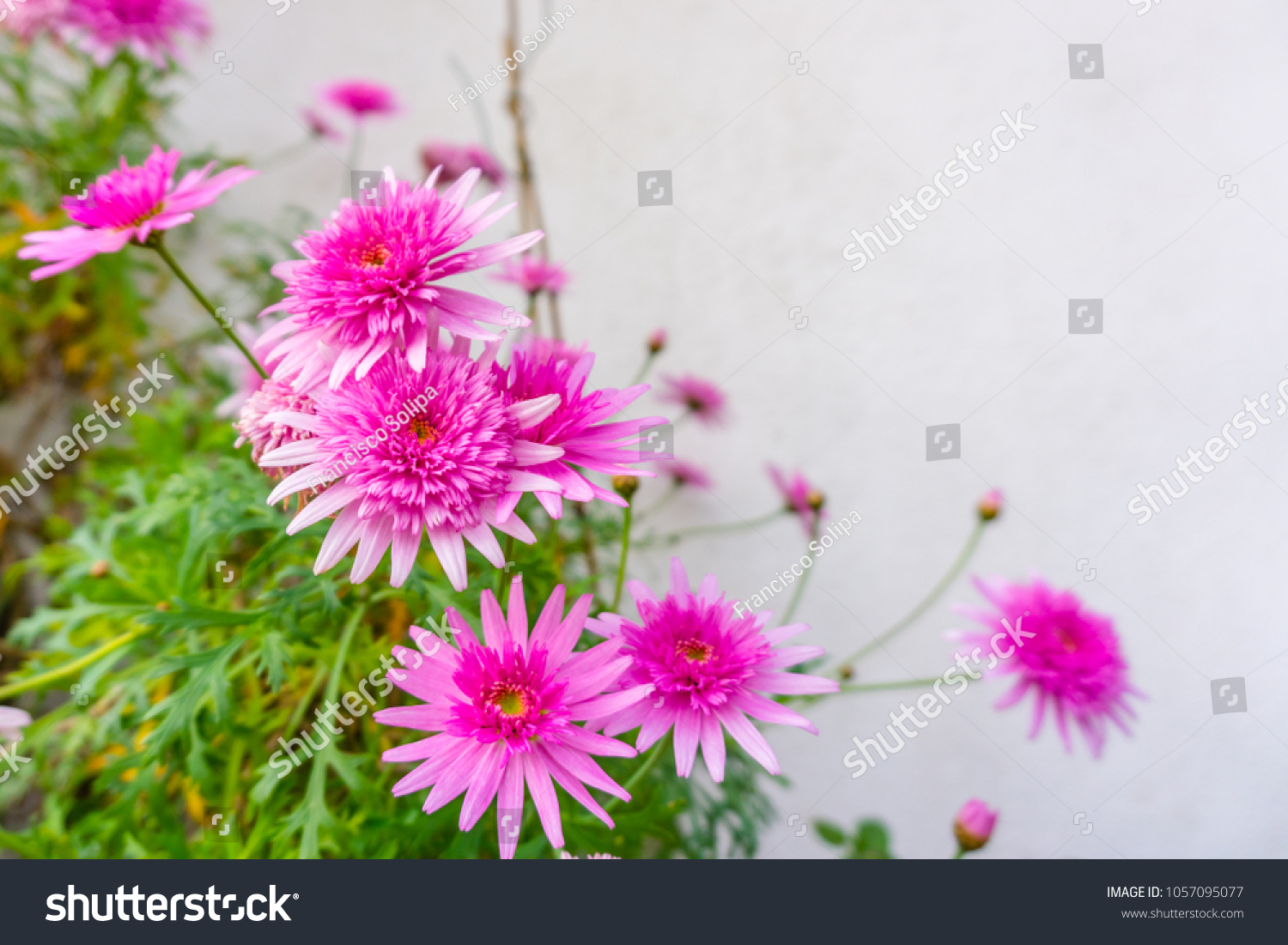 Beautiful Pink Flower Blur Background Flowers Stock Photo Royalty