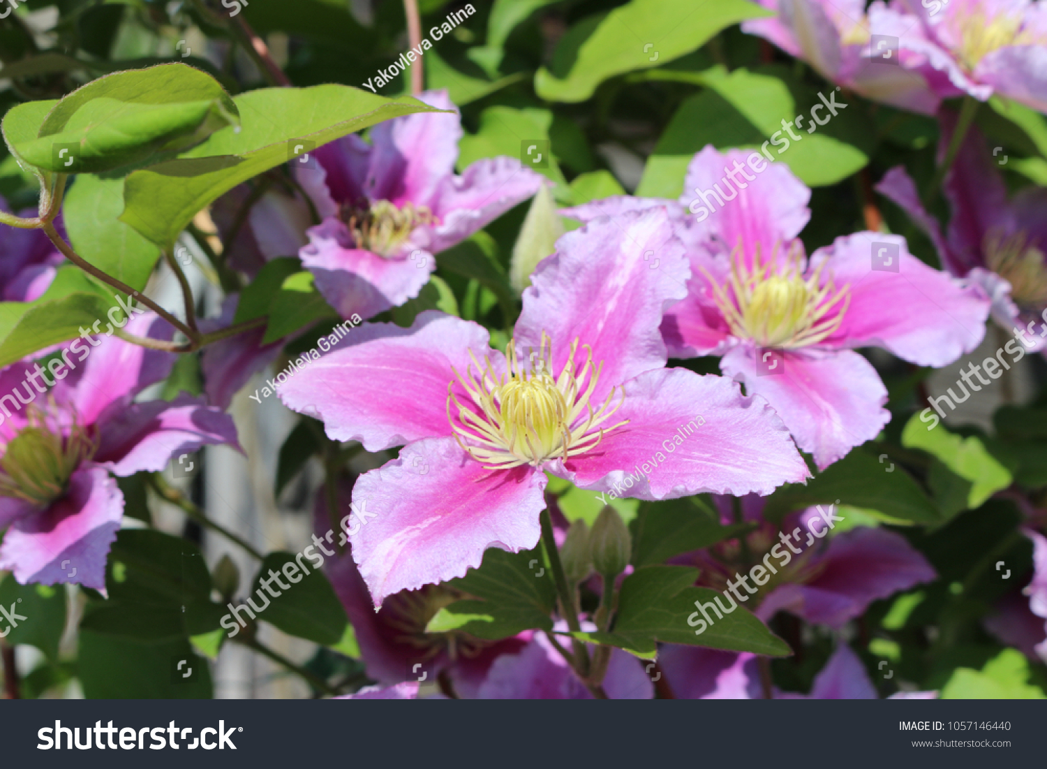 Pink Flowers Climbing Clematis On Sunny Stock Photo Edit Now