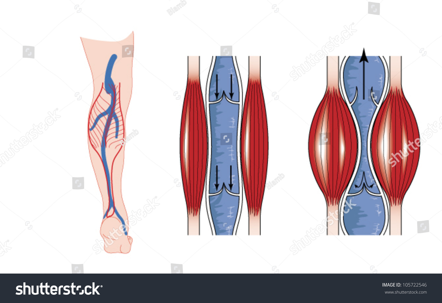 Drawing show action calf muscle pumping stock vector 105722546 drawing to show the action of the calf muscle in pumping blood from the lower limb pooptronica