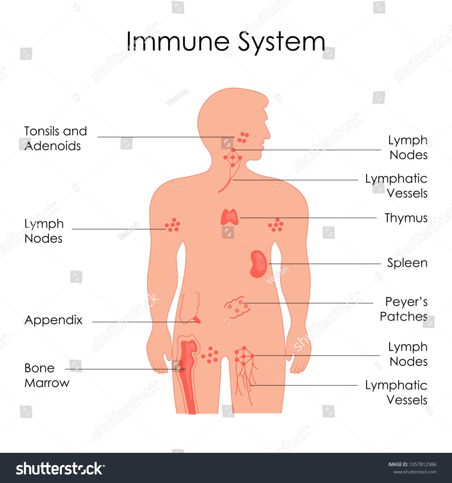 Education Chart Biology Immune System Diagram Stock Vector Royalty