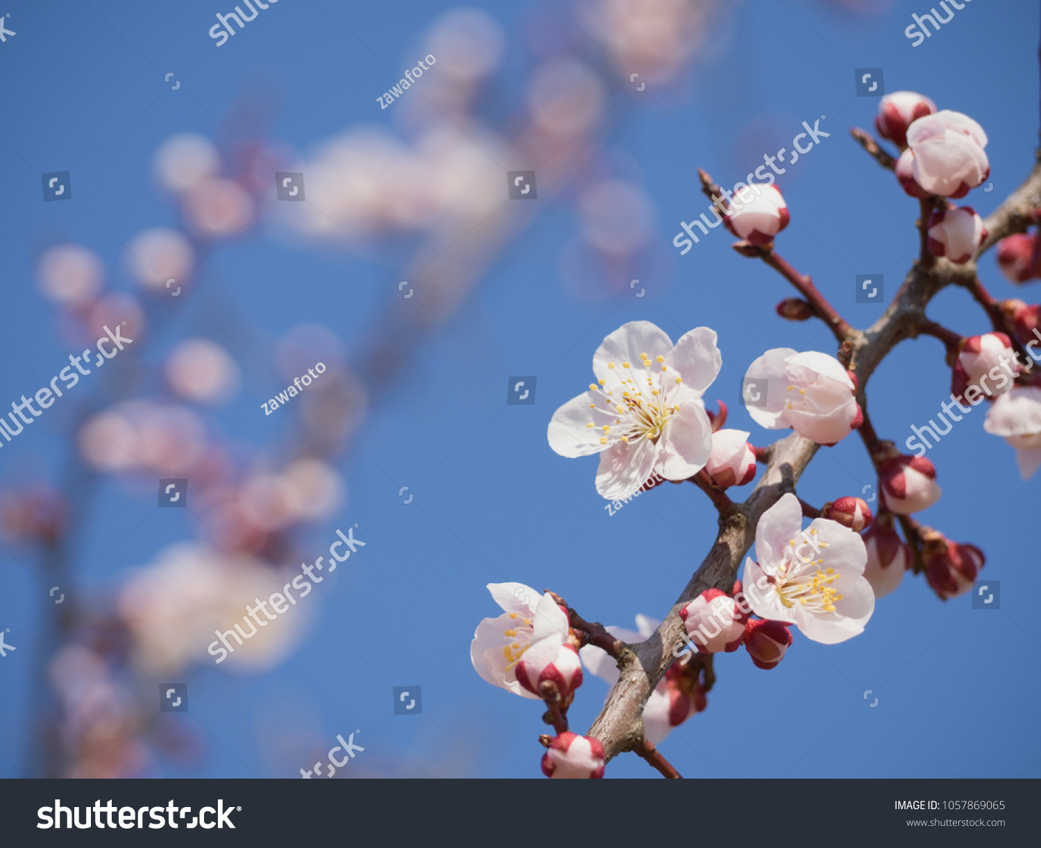 Branch White Plum Flower Blooming Spring Stock Photo Royalty Free