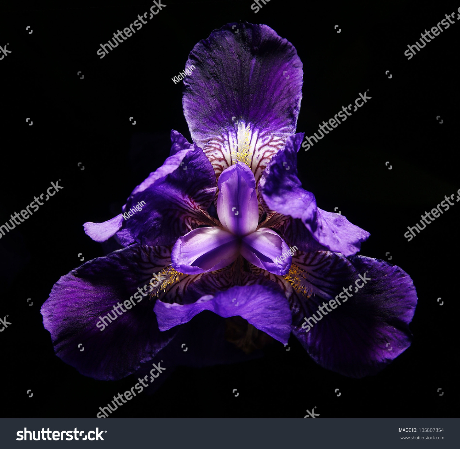 Purple iris flower on black background stock photo royalty free purple iris flower on a black background izmirmasajfo Image collections