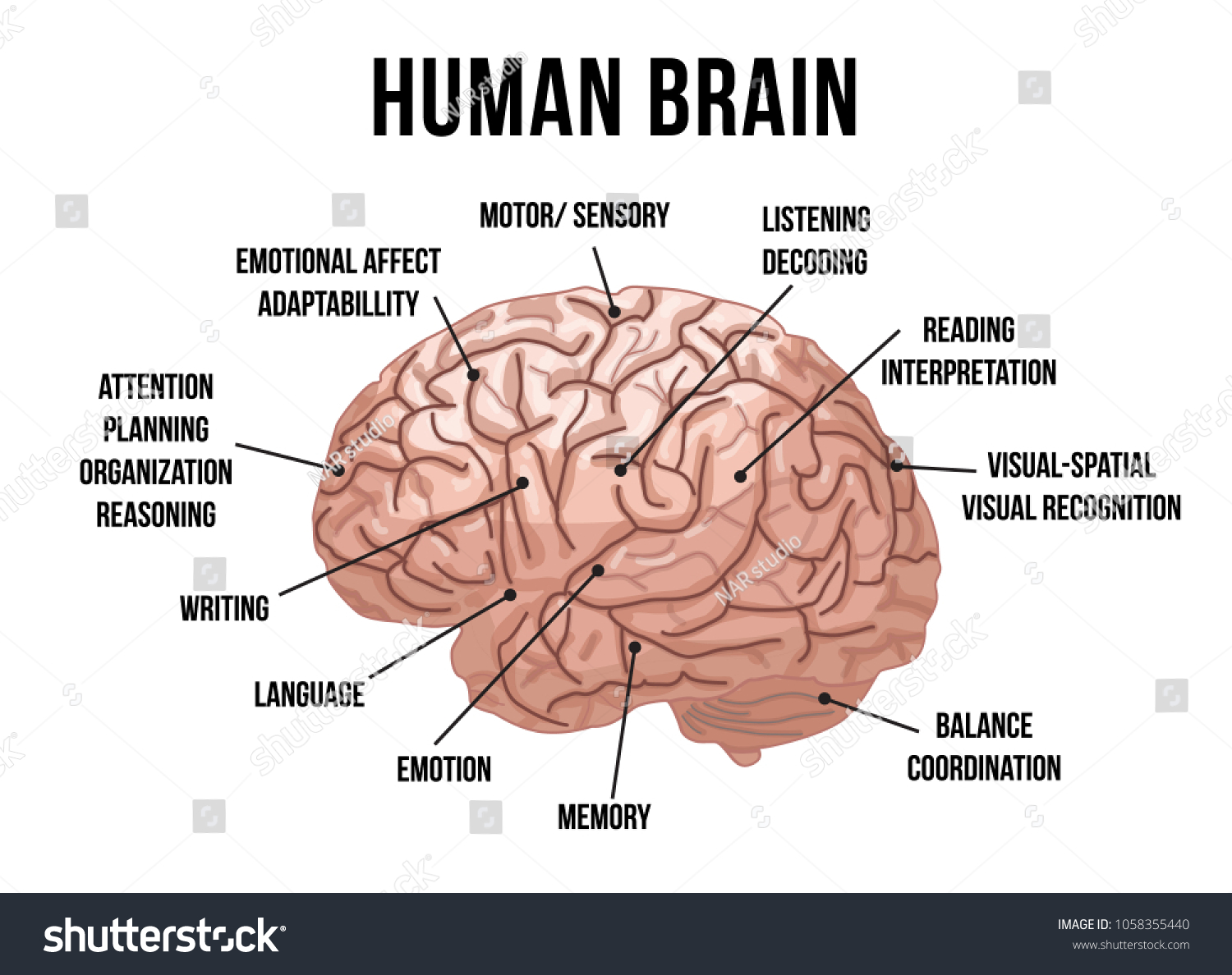 Human Brain Anatomy Vector Illustration Stock Vector Royalty Free