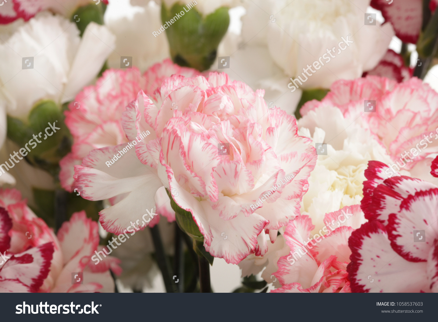 Pink White Carnation Flower Bouquet Stock Photo (Royalty Free ...