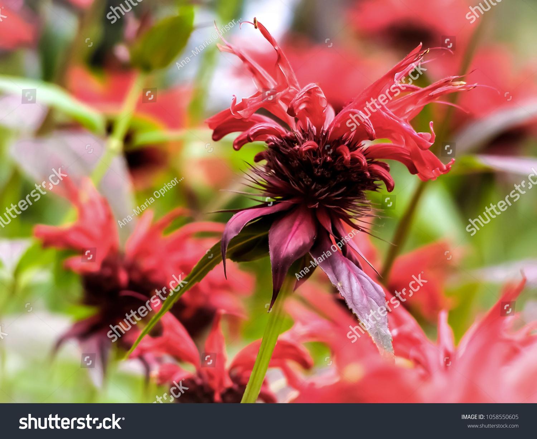 Light Pink Spiky Flower Stock Photo Edit Now 1058550605 Shutterstock