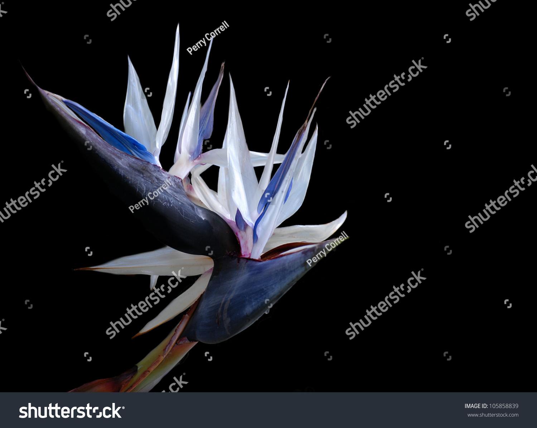 Large Tropical Plant Called White Birdofparadise Stock Photo Edit