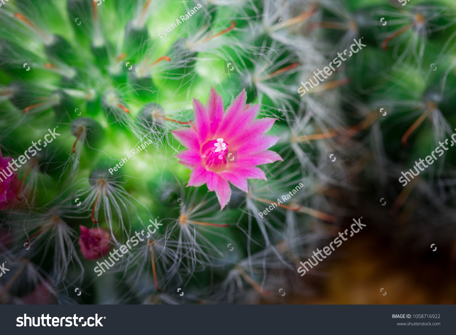Small Cactus Have Pink Flower Blooming Stock Photo Edit Now