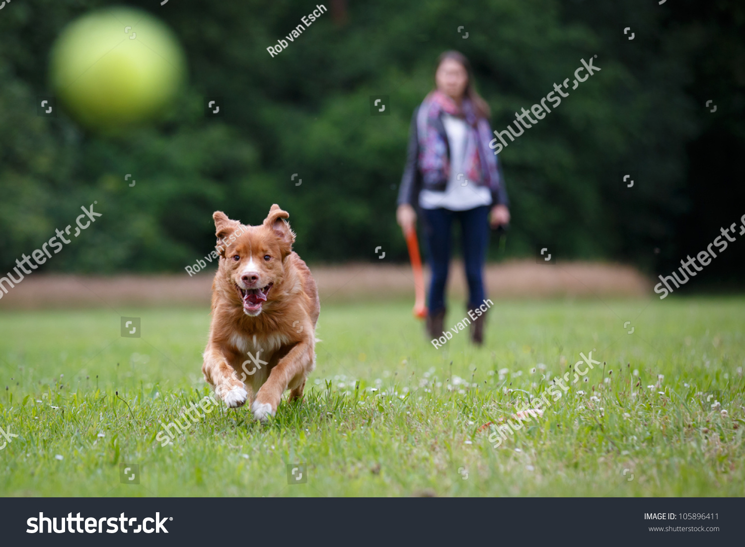 Retriever dog running fast to catch a yellow tennis ball, on a field with green grass in the forest #105896411
