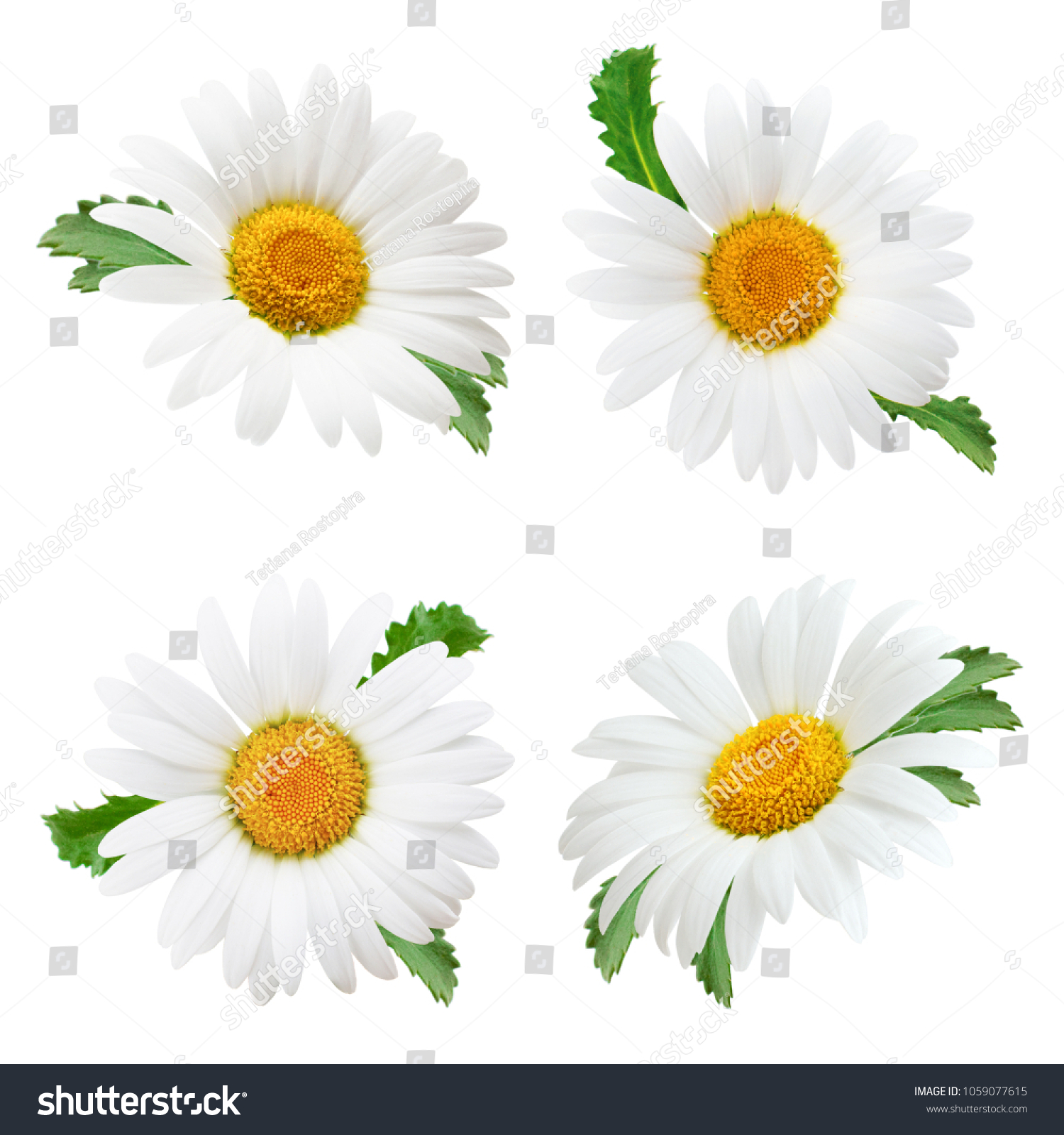 Set Daisy Flower Leaves Isolated On Stock Photo Edit Now